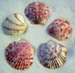 Seashell photography.