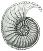 A 19th century engraving of an ammonite, digitized and adapted for printing on your choice of Cartesian Bear products.