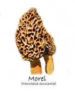 Yellow Morel (Morchella esculenta) mushroom
