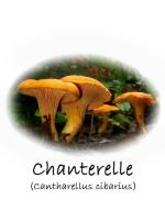 Chanterelle (Cantharellus cibarius) mushroom