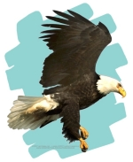 A graceful Eagle in Flight, against a summer sky, is a very special design for anyone who loves this awesome bird.  The Eagle is held in high regard by Native Americans, and having him on T-shirts, Sweatshirts, and more makes him very popular indeed!