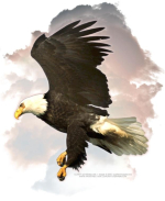 An Eagle in Flight among the clouds, is a very special design for anyone who loves this awesome bird.  The Eagle is held in reverence by Native Americans, and having him on T-shirts, Sweatshirts, is a beautiful thing! He's a terrific gift idea, too!