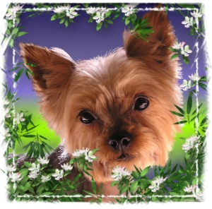 Beautiful Yorkie dog amid apple blossoms in a colorful summer design for all yorkshire Terrier lovers.  Pet gifts of this adorable breed for all your animal loving friends.  T-shirts, mousepads, and household gifts.