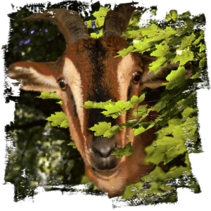 Shy or naughty? He's a goat ! For all you animal lovers, and kids young and old. Scroll down to see him on t-shirts,mousepads,bags,cuttingboards and other great gifts!