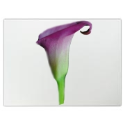 A Beautiful pink calla lily stands in a crisp profile with it's prominent scooped flower petal curling and bright green stem cupping the base.
