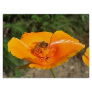 A honeybee busy in a bright orange California poppy.